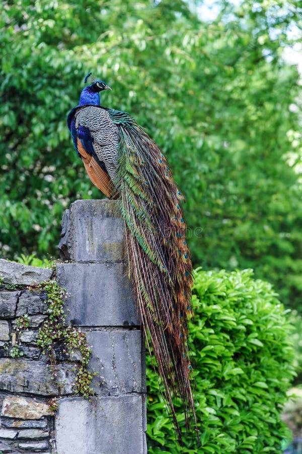 Bello uccello variopinto del pavone fotografie stock libere da diritti