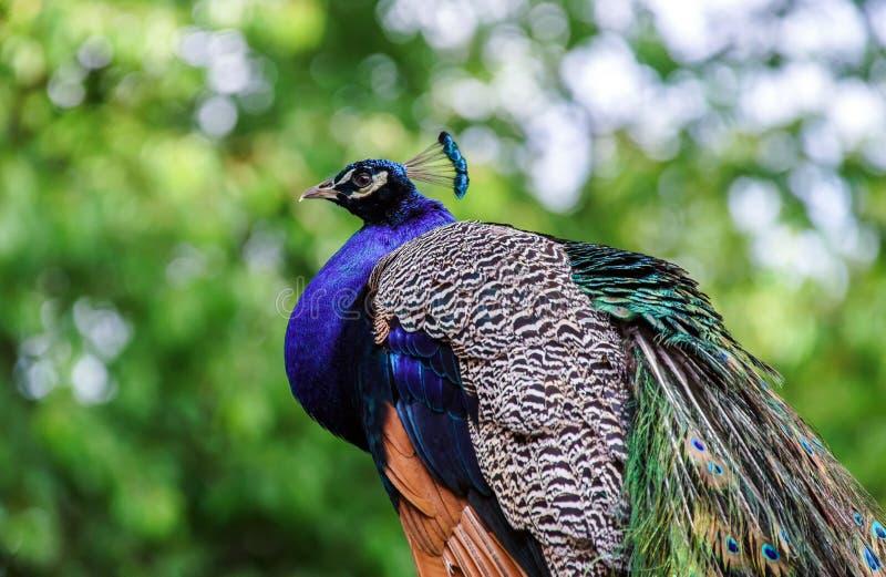 Bello uccello variopinto del pavone immagini stock libere da diritti