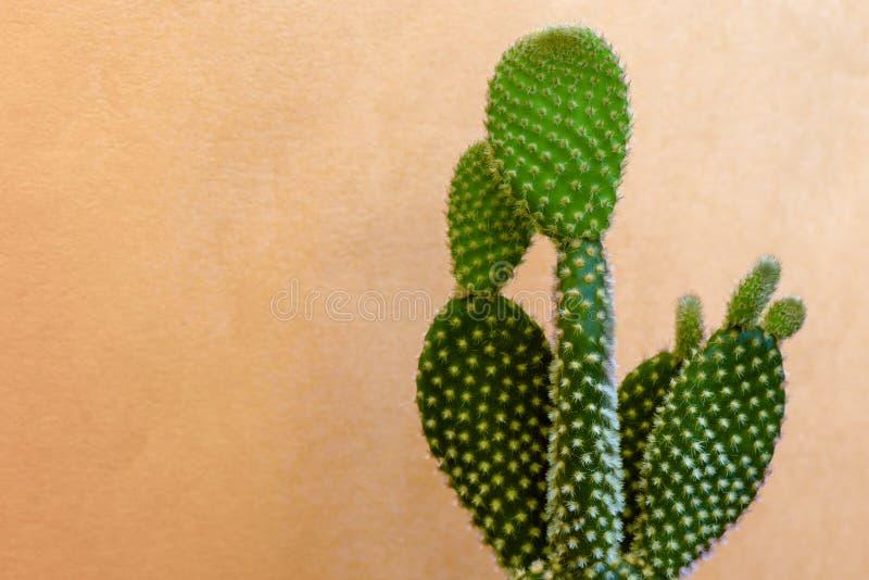 Bello verde del cactus con le spine molli su un fondo arancio fotografia stock libera da diritti