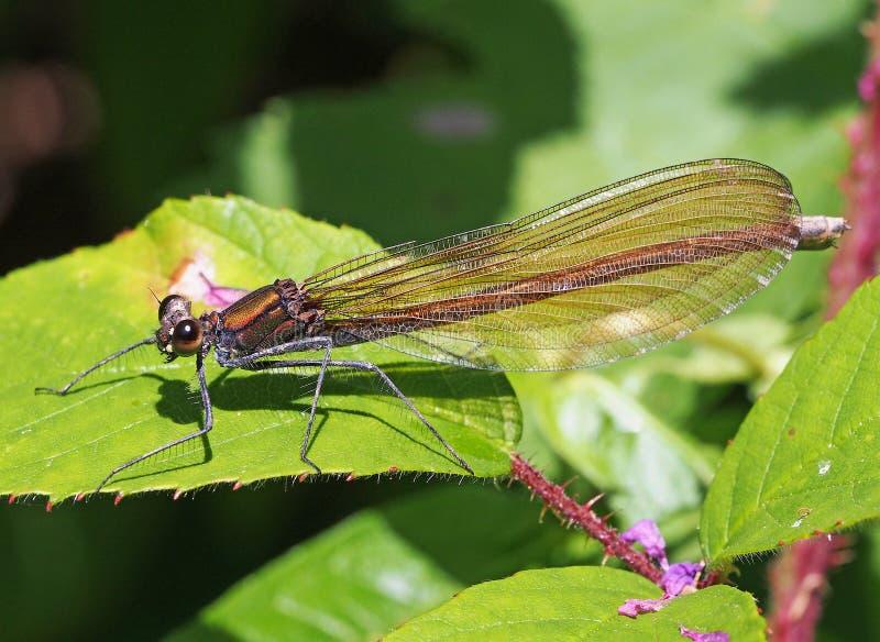 Bello virgo del calopteryx del demoiselle del Damselfly immagine stock libera da diritti