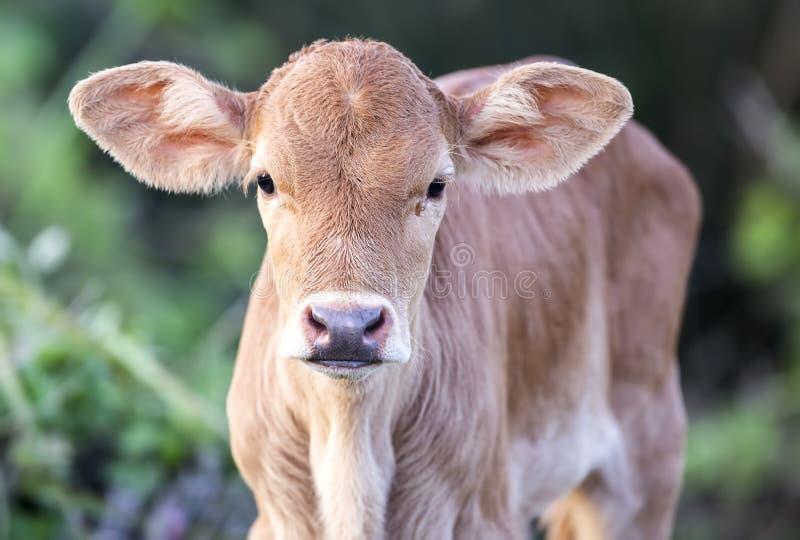 Bello vitello innocente immagine stock libera da diritti