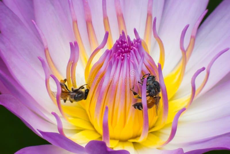 Bello waterlily o fiore di loto con l'ape immagini stock