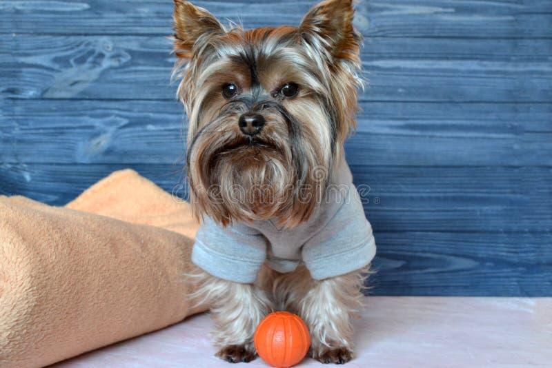 Bello Yorkshire terrier in vestiti immagine stock