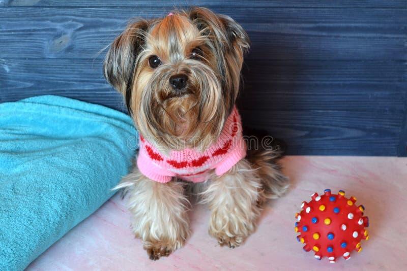 Bello Yorkshire terrier in vestiti fotografia stock libera da diritti