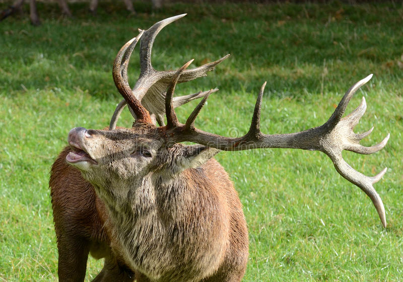 Bellowing Red Deer Stag Stock Photography