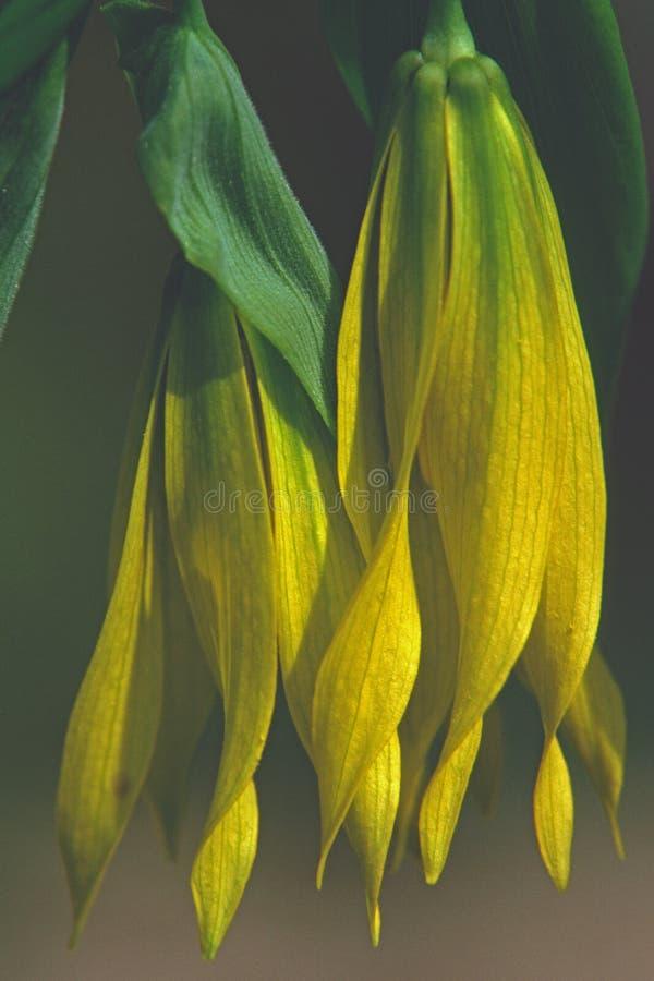Bellwortöppning under den tidiga våren på en skogsbevuxen backe royaltyfri foto