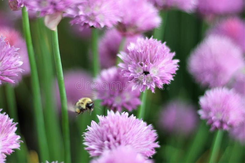Belly Flop. The bumble bee is taking a dive into the purple bloom on the chive plant in the flower garden royalty free stock photography