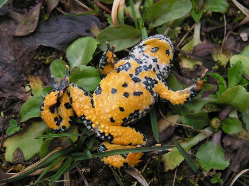 Yellow-belly Toad, Bombina variegata royalty free stock photography