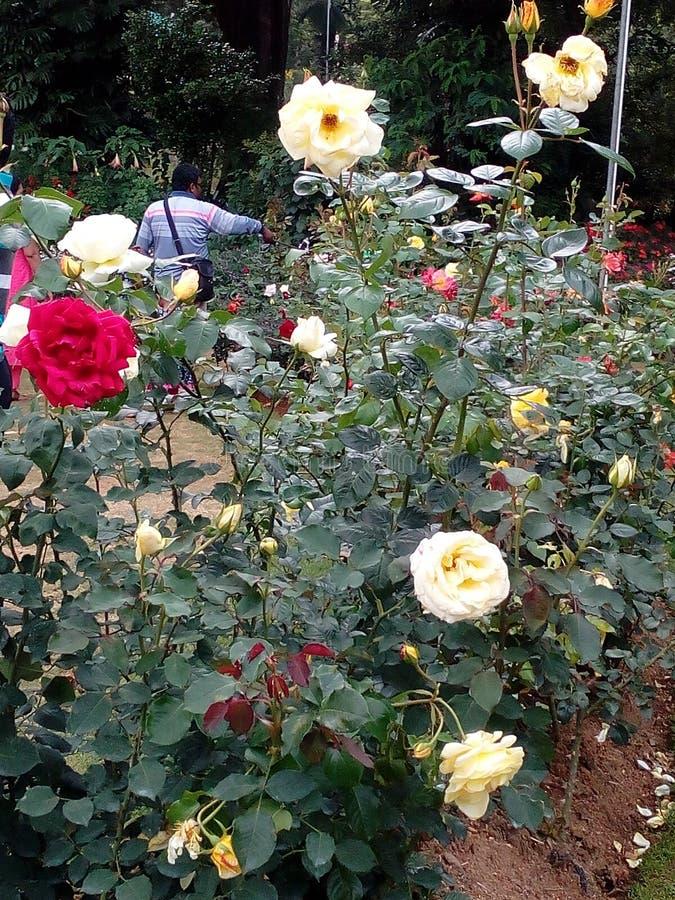 Rose sri lanka royalty free stock photos