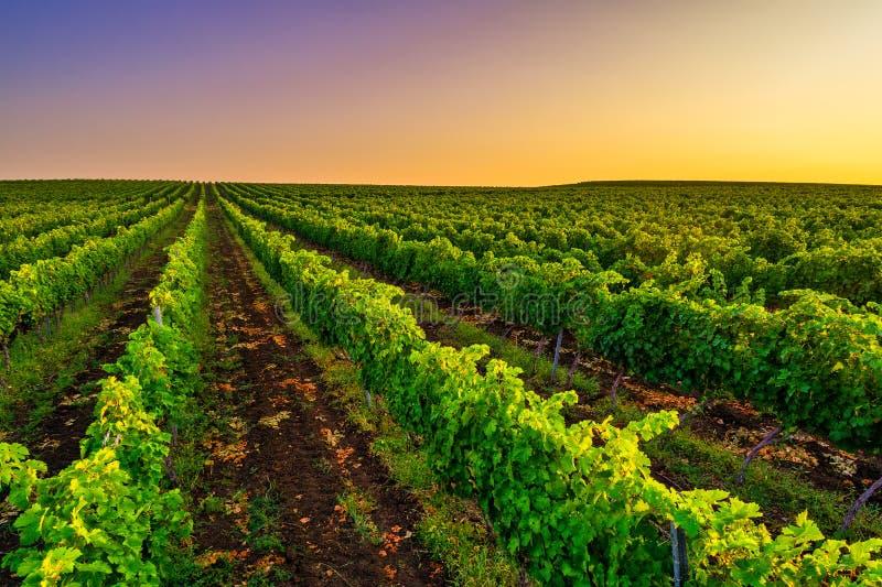 Belo pôr do sol sobre campos vinícolas na Europa fotografia de stock