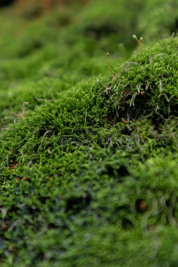 Moss-Bryophyte. Belonging to the lowest higher plant. Plants are seedless, seedless and reproduce by spores. It can be used as an indicator plant for monitoring royalty free stock images