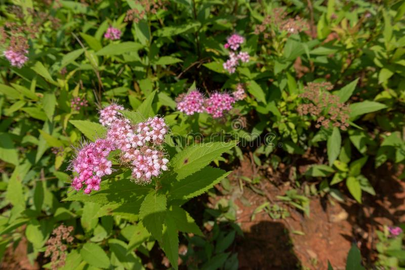 Meadow sweets-Spiraea Salicifolia L. It belongs to Rosaceae, rose erect shrub, up to 2 meters. Twigs are pubescence and old when they are old; winter buds have stock photos