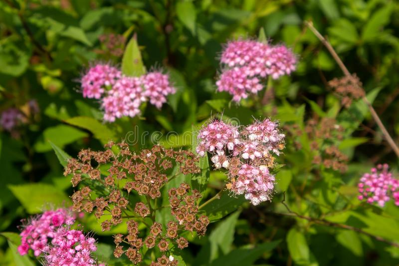 Meadow sweets-Spiraea Salicifolia L. It belongs to Rosaceae, rose erect shrub, up to 2 meters. Twigs are pubescence and old when they are old; winter buds have royalty free stock photo