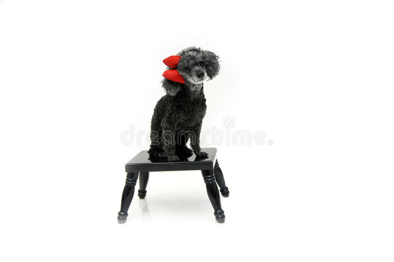 Download Beloved Pet Poodle stock photo. Image of portrait, looking - 18340476