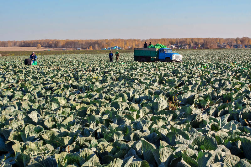 BELOVO, RUSLAND 20 OKTOBER, 2015: De landbouwers oogsten kool stock afbeelding
