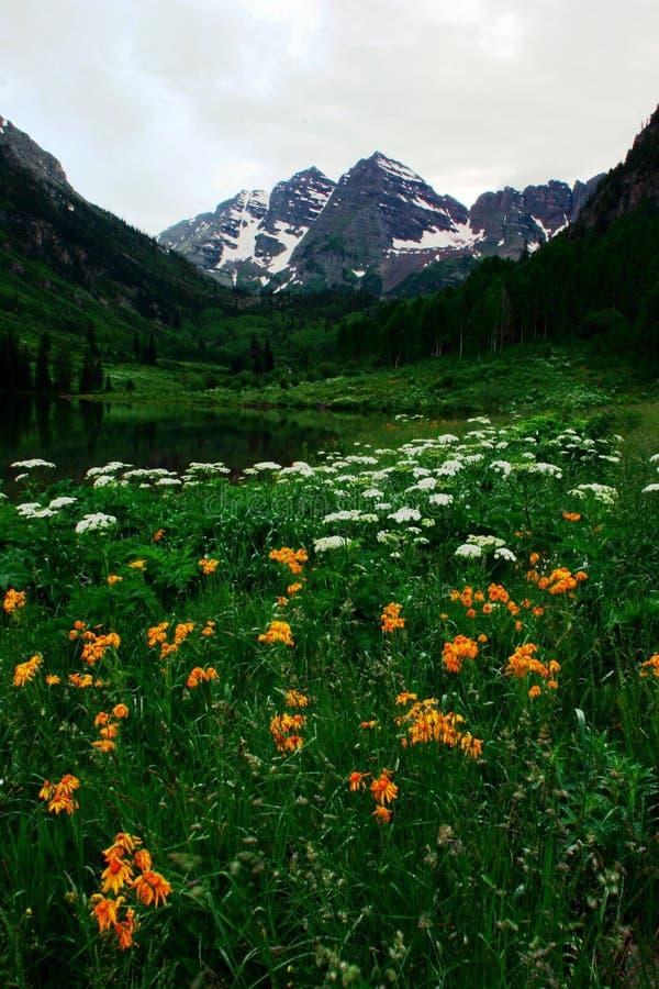 Bels marrons na flor cheia imagens de stock