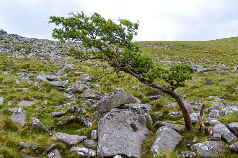 Belstone Tor on Dartmoor. A tree in the area surrounding Belstone Tor in Dartmoor National Park, Devon, United Kingdom royalty free stock photography