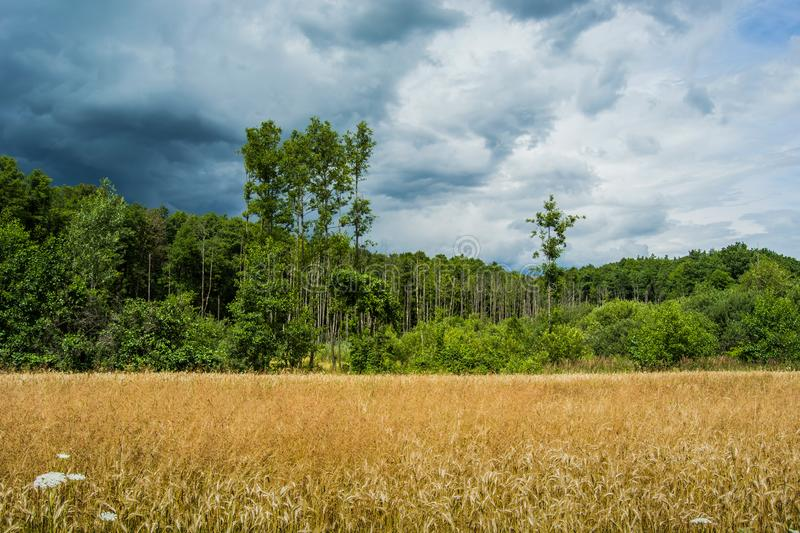A belt of golden grain, forest and dark clouds on the sky. View on a cloudy day royalty free stock photography