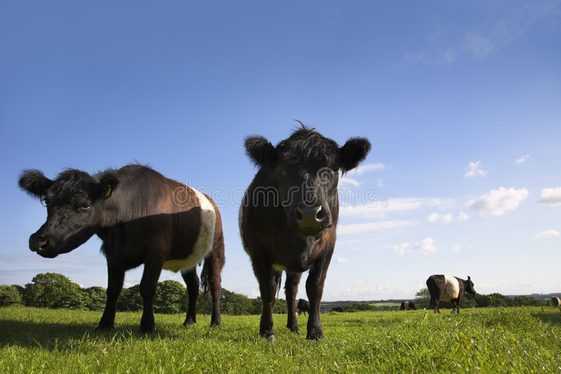 Belted Galloway. English countryside scene with Belted Galloway cattle and calves. Parbold, Lancashire royalty free stock photography