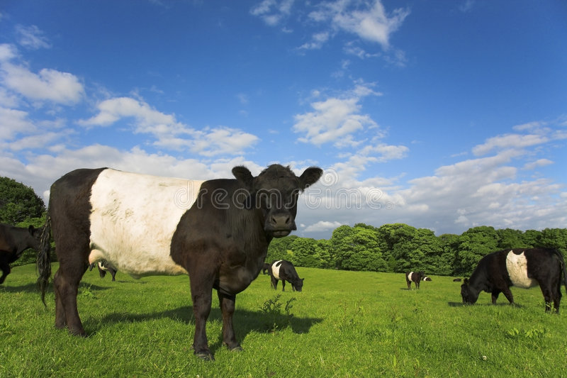 Belted Galloway. English countryside scene with Belted Galloway cattle and calves. Parbold, Lancashire stock photography