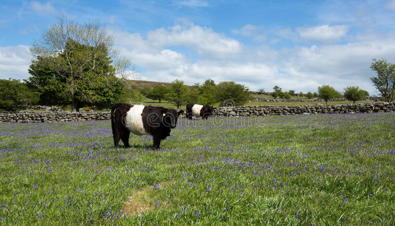 Belted galloway cow. Belted galloway cow in a bluebell field Dartmoor national park Devon Uk royalty free stock images