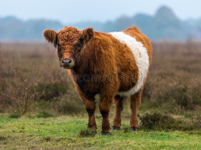 Belted Galloway cow on the moor royalty free stock photography