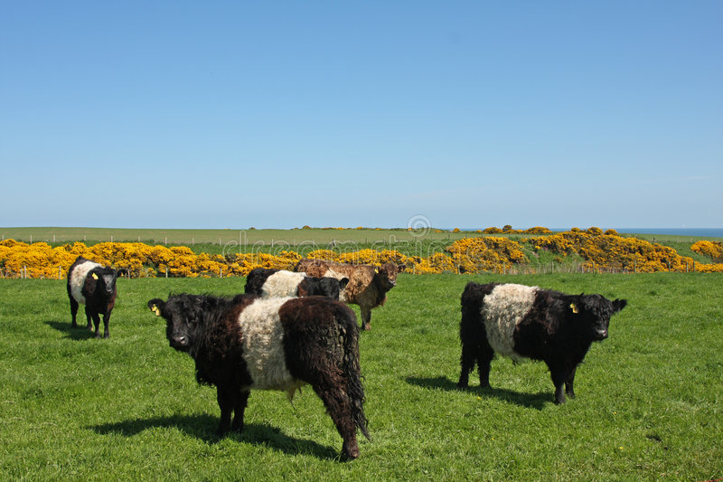 Belted Galloway Cows. Black and White Belted Galloway Cows royalty free stock image