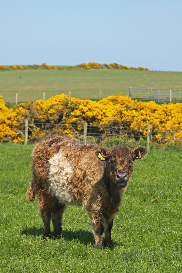 Free Belted Galloway Cows Stock Photography - 5277502