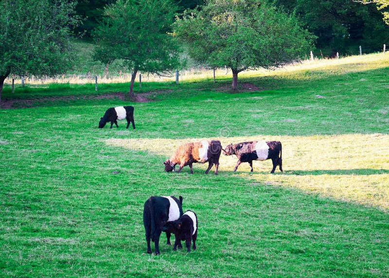 Belted Galloway cows and calf in pasture standing eating grass royalty free stock photos
