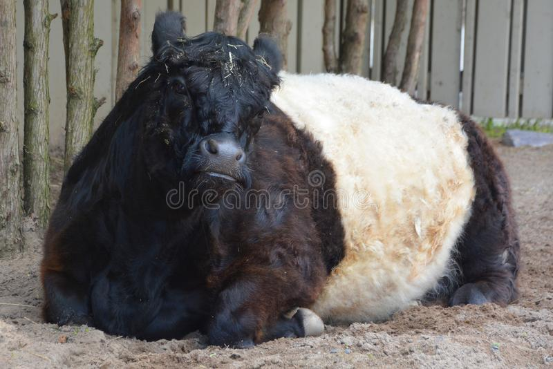 The Belted Galloway. Is a heritage beef breed of cattle originating from Galloway in South West Scotland, adapted to living on the poor upland pastures and royalty free stock photos