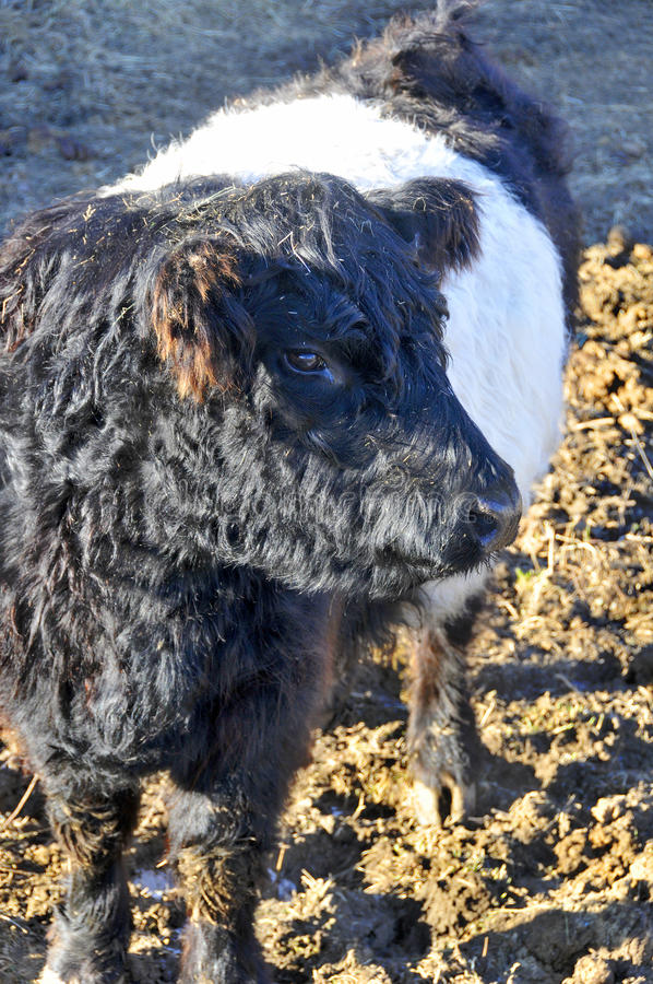 Belted Galloway. The Belted Galloway is a heritage beef breed of cattle originating from Galloway in South West Scotland, adapted to living on the poor upland stock photos