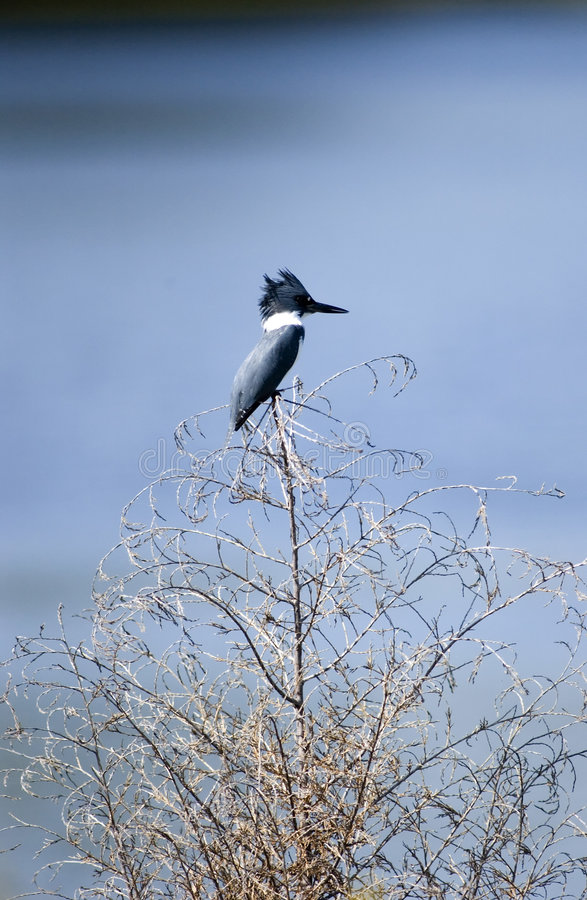 Belted Kingfisher. Perched atop lakeside brush in Muscatatuck Nature Preserve in south-central Indiana stock image