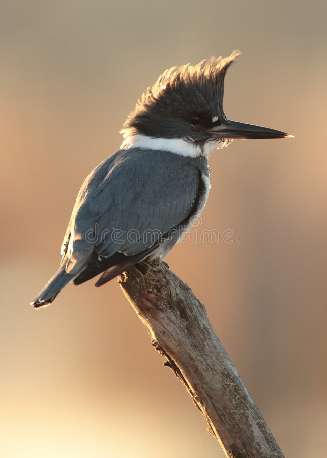 Belted Kingfisher. Male at Tualatin River National Wildlife Refuge royalty free stock photos