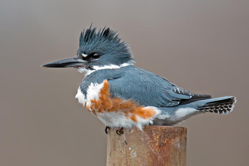 Belted Kingfisher. Female Belted Kingfisher Sitting on a pole royalty free stock images