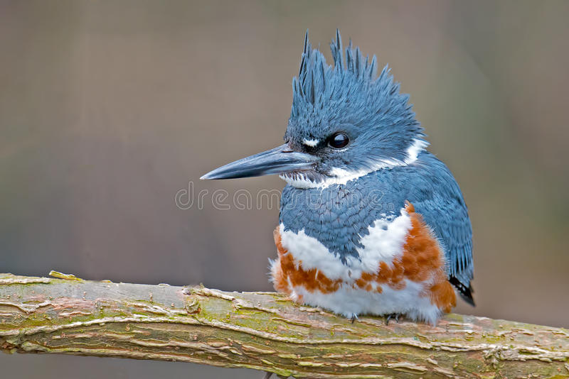 Belted Kingfisher. Female Belted Kingfisher Sitting on a branch stock image