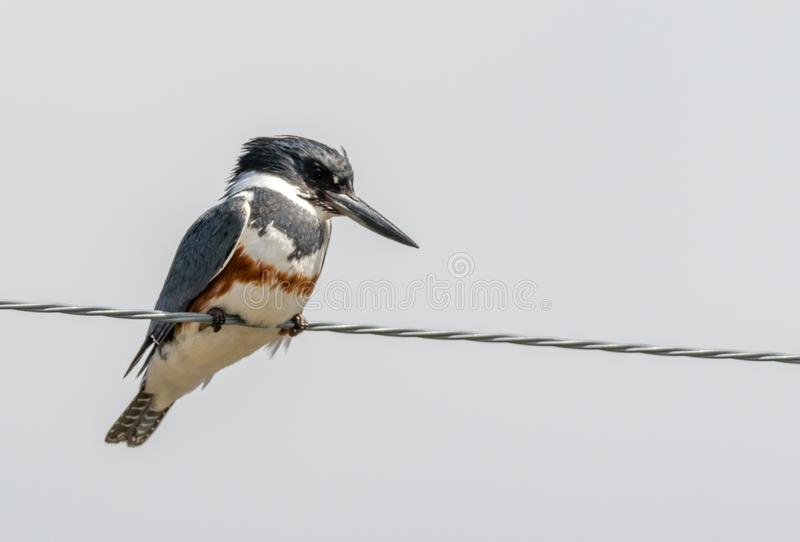 Belted Kingfisher. A Belted Kingfisher perched on a wire at Market Lake Wildlife Refuge near Roberts, Idaho royalty free stock photo