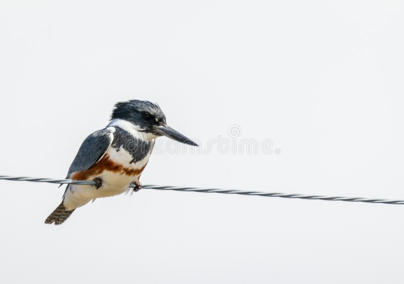 Belted Kingfisher. A Belted Kingfisher perched on a wire at Market Lake Wildlife Refuge near Roberts, Idaho royalty free stock photos