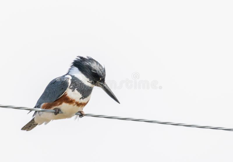 Belted Kingfisher. A Belted Kingfisher perched on a wire at Market Lake Wildlife Refuge near Roberts, Idaho stock image