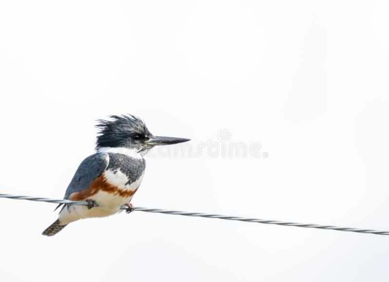 Belted Kingfisher. A Belted Kingfisher perched on a wire at Market Lake Wildlife Refuge near Roberts, Idaho stock photography