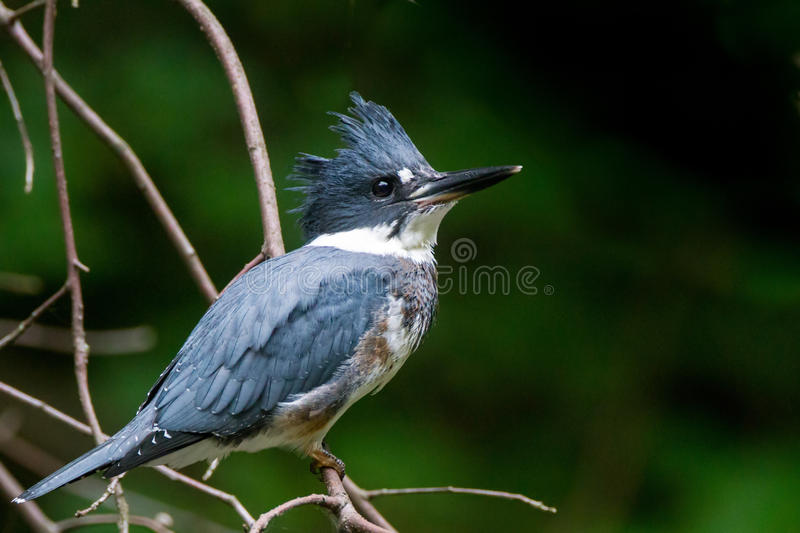 Belted kingfisher. With blue grey feathers perched on a branch in a forrest by a pond royalty free stock photo