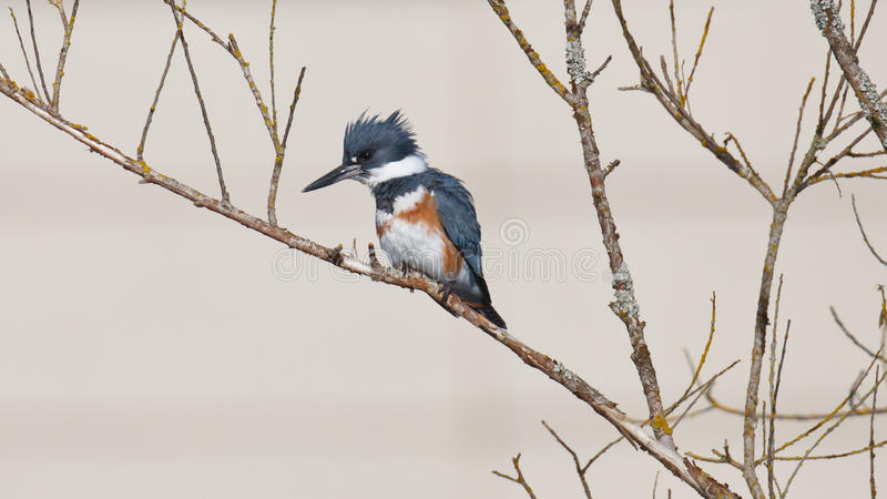 Belted Kingfisher on a branch. A Belted Kingfisher perched on a tree branch with a watchful eye royalty free stock images