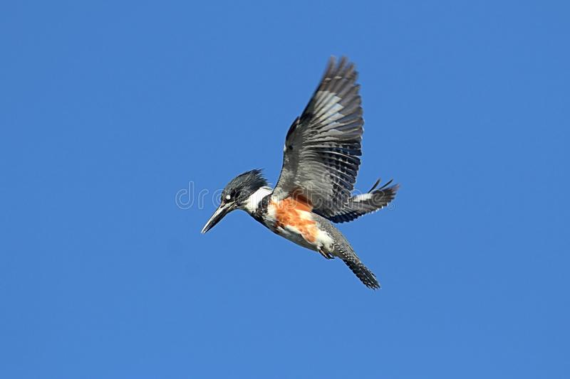 Belted Kingfisher (Ceryle alcyon). Hunting for fish with a blue sky background royalty free stock photography