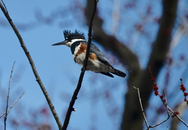 Belted Kingfisher #1. This is an early Spring picture of a Belted Kingfisher perched on a Branch along the South Pond in Lincoln Park located in Chicago stock images