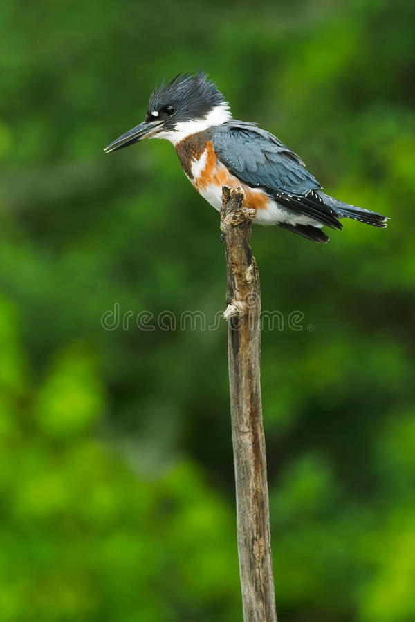 Belted Kingfisher. Female Belted Kingfisher fishing from atop a thin, dead tree trunk stock images