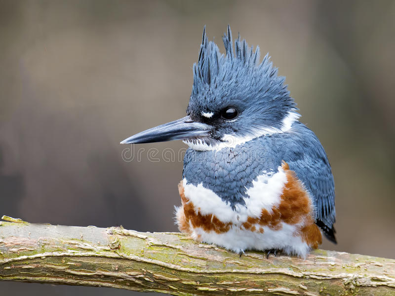 Belted Kingfisher. Female Belted Kingfisher Sitting on a branch royalty free stock photography