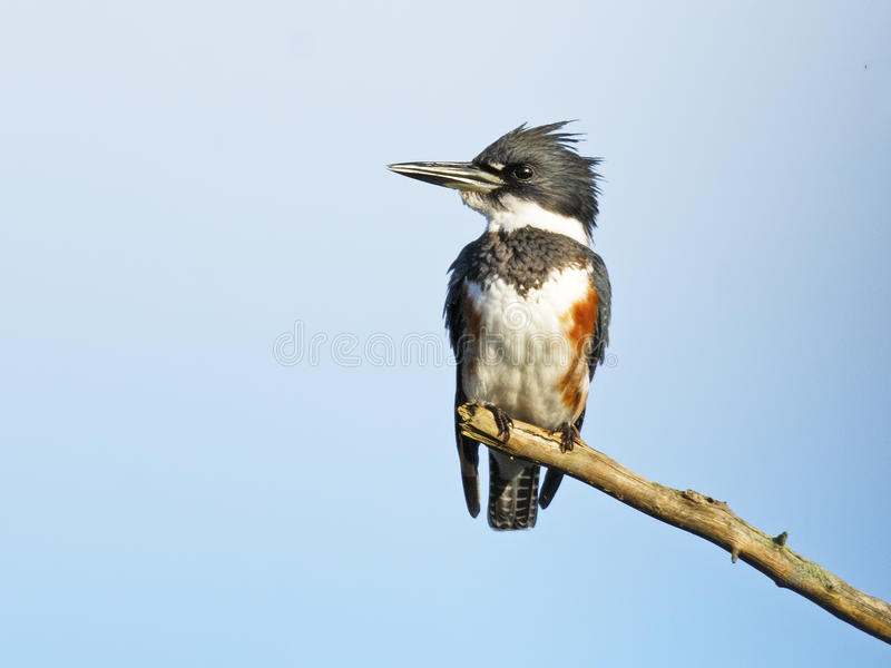 Belted Kingfisher. Female Belted Kingfisher Sitting on a branch royalty free stock images