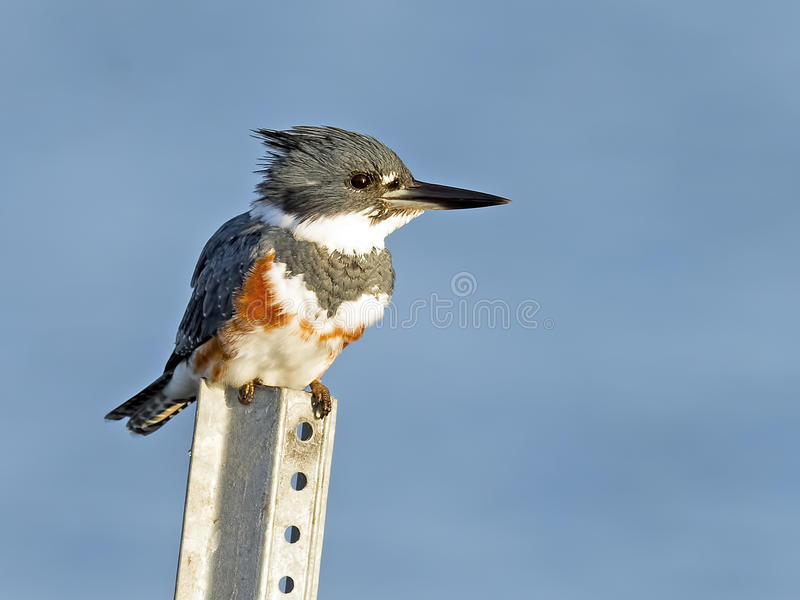 Belted Kingfisher. Female Belted Kingfisher Sitting on a pole stock photos