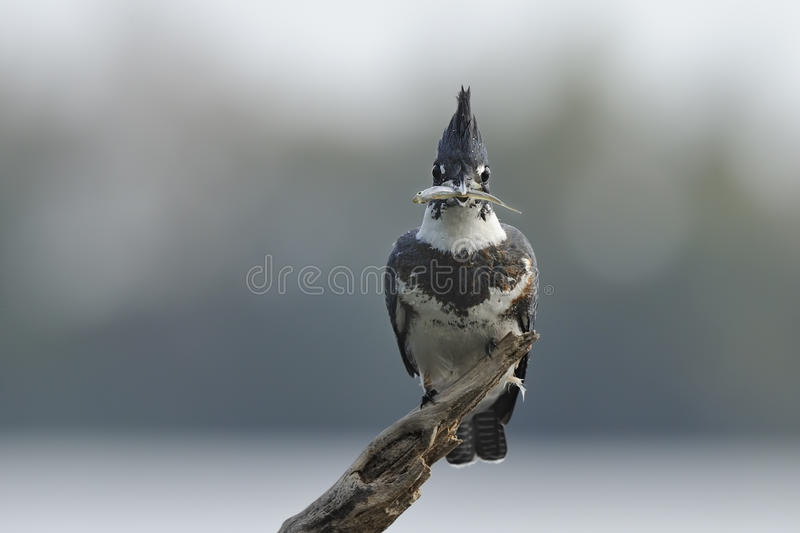 Belted Kingfisher. A Belted Kingfisher is holding agonising fish stock image