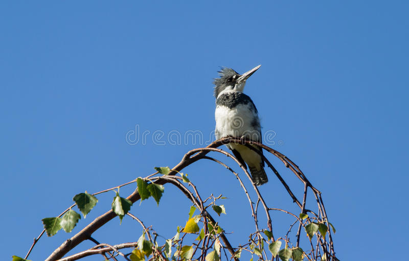 Belted Kingfisher. Male Belted Kingfisher close up stock photos