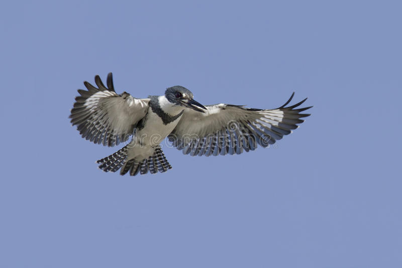 Belted Kingfisher (Megaceryle alcyon) in flight. Fort Desoto, Florida royalty free stock photography